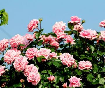Cây Hoa Hồng Leo xu thế mới trang trí ngoại thất sân vườn